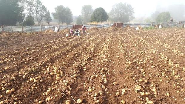 Tokat'ta Beyaz Patates Hasadı Başladı