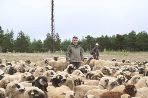 5 Yılda 500 Bin Koyun Projesi