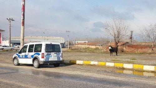 Erbaa'da Kaçan Boğa Alarmı