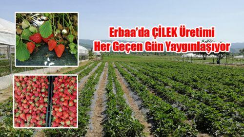 Erbaa'da çilek üretimi her geçen gün artıyor