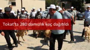 Tokat'ta 280 damızlık koç dağıtıldı