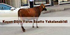 Tokat'ta Kaçan Düve Yarım Saatte Yakalanabildi