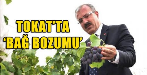 VALİ TORAMAN, BAĞ BOZUMU PROGRAMINA KATILDI